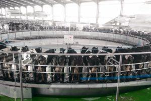 GEA DairyRotor melkt 10.000 koeien in China